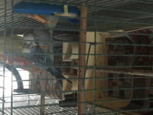 Pair of English budgies for sale