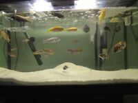 Fish tank with african cichleds