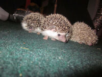 Baby Hedgehogs for sale!!