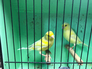 Singing canarie and cage for sale