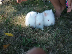 ***LIONHEAD BABY RABBITS  55 EACH  Great pets for kids