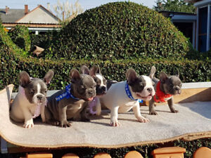 Best quality blue french bulldog puppies for sale