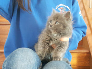 Adorable fluffy grey kitten needs a loving home.
