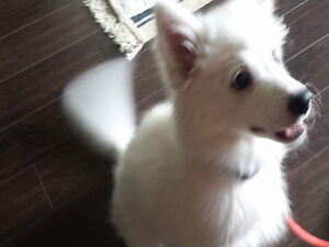 Cute American Eskimo puppy for Rehoming