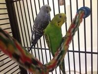 Budgies (Male + Female) + Large Cage