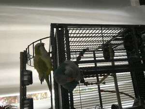 2 Male Rare Quaker Parrots FOR SALE with cage and accessories