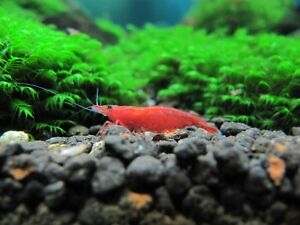 red and blue SHRIMP