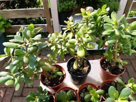 Indoor Money plants