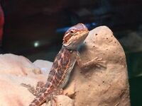 Red Bearded Dragon ( Baby )