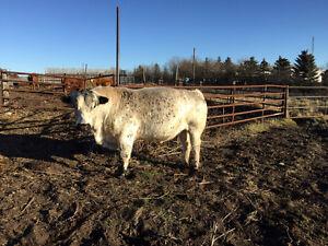 Bull for sale Regina Regina Area image 5