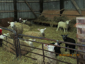 Sheep Flock For Sale