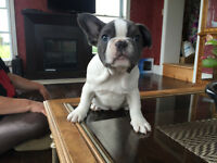 """Blue Berta"" Adorable French Bulldog Puppy"