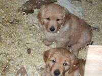 GOLDEN RETRIEVER Puppies,Happy and Playful