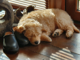 Beautiful Goldendoodle puppy for sale