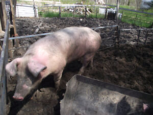 Butcher hogs for Sale