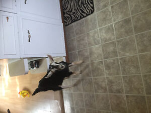 Black and white 5 mth old goat