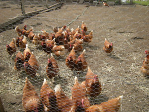 ***LAYING HENS***
