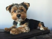 Morkie for sale $700