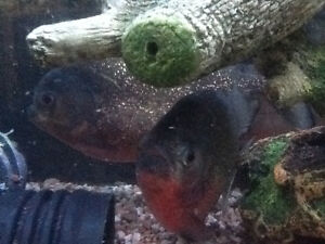 125 gallon fish tank with 4 red belly piranha's - complete Windsor Region Ontario image 7