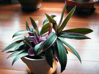 houseplant- boat lily -Rhoeo