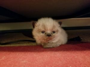 Rag Doll Exotic Short Hair Kittens