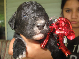 AussieDoodle F1B Puppies from Sportsman Standard Poodles