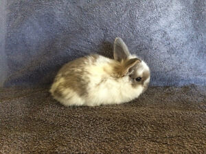 Pure bred baby bunnies for sale