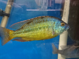 Variety Adault Cichlids for sale