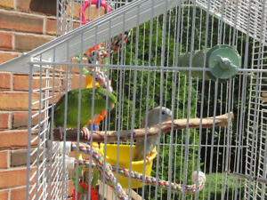Bonded Pair of Lineolated  Parakeets (Linnie)