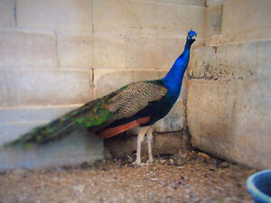 *Beautiful 2+ year old peacock for sale! Located in Woodstock!*
