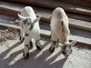 2 Pygmy Goat Male Kids
