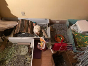 FREE - Looking to REHOME 2 FEMALE guinea pigs