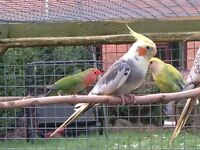 Cockatiel 3 years old male Not Tame £20