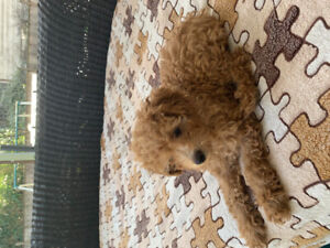Pure breed toy poodle puppy❤️