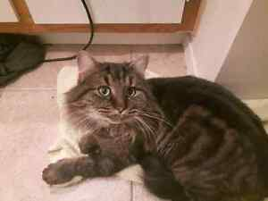 Chat male tabby brun