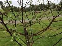 Professional fruit tree pruning service