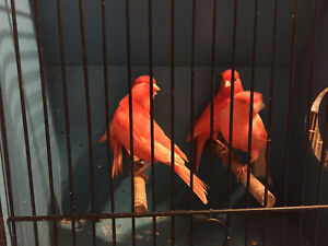 Canaries finches and cages for sale