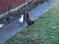 Hen and 2 chicks for sale all for £30