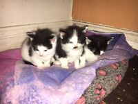 2 black and white kittens £40.00 each
