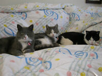 3 male cats (approx. 3yrs old) Must go asap - FREE