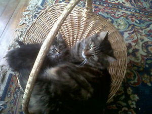 Male Long Hair Tabby Missing Since April 15th