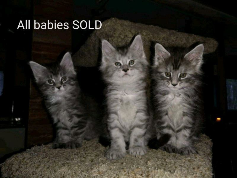 Purebred registered European Maine Coons | Cats & Kittens