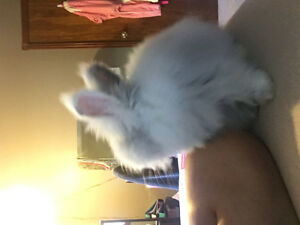 Lion head/Angora 4 month old bunny for sale!