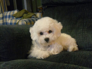 CKC Registered Bichon Frise Puppies