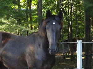 Magnifique Friesian Sport Horse West Island Greater Montréal image 10