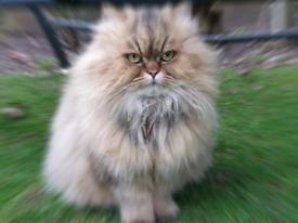 Golden Persian Cat Dollfaced Chanchila