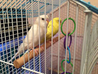 2 young fancy budgies for sale white and yellow with cage