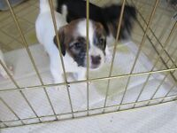 Jack Russel Shih  Tzu Puppy For Sale