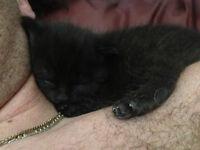 chaton femelle de 8 semines