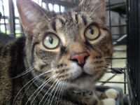 Found Cat - Male Brown Tabby Shorthair